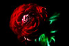 Rose Red<br /> <br /> Flower pictured :: Ranunculus<br /> <br /> 032212_003873 ICC adobe 16in x 24in pic