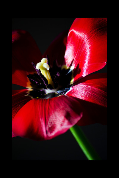 Flower pictured :: Tulip<br /> <br /> 022412_002267 ICC adobe 16in x 24in pic 20in x 30in matte