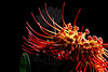Flower pictured :: Protea<br /> <br /> Flower provided by :: Babylon Floral<br /> <br /> 120112_005838 ICC sRGB 16in x 24in pic