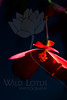 Flower pictured :: Begonia<br /> <br /> Flower provided by :: Tagawa Gardens<br /> <br /> 061412_011703 ICC sRGB 16in x 24in pic