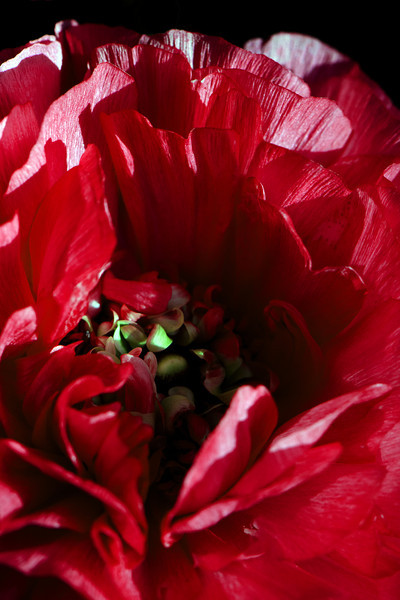 Flower pictured :: Ranunculus<br /> <br /> Flower provided by :: Whole Foods @ University<br /> <br /> 041212_005196 ICC sRGB 16in x 24in pic