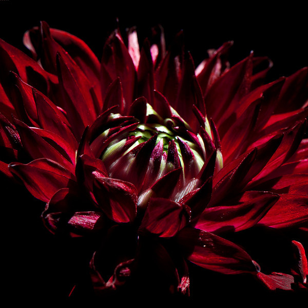 Flower pictured :: Dahlia<br /> <br /> Flower provided by :: Whole Foods<br /> <br /> 090312_000851 ICC sRGB 16in x 16in pic