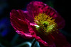 Flower pictured :: Iceland Poppy<br /> <br /> Flower provided by :: Tagawa Gardens<br /> <br /> 050912_008259 ICC sRGB 16in x 24in pic