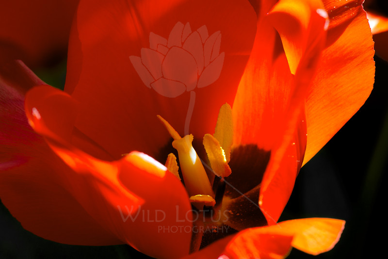 Crush<br /> <br /> Flower pictured :: Tulip<br /> <br /> Flower provided by :: Tagawa Gardens<br /> <br /> 040615_007909 ICC sRGB 16x24 pic