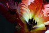 Flower pictured :: French Tulip<br /> <br /> Flower provided by :: Whole Foods<br /> <br /> 031415_007011 ICC sRGB 16x24 pic