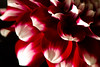 Peppermint<br /> <br /> Flower pictured :: Dahlia<br /> <br /> Flower provided by :: Babylon Floral<br /> <br /> 100215_015118 ICC sRGB 16x24