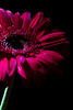 Flower pictured :: Gerbera Daisy<br /> <br /> Flower provided by :: Happy Canyon Flowers<br /> <br /> 050612_008021 ICC sRGB 16in x 24in pic