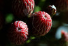 Flower pictured :: Juniper Berries<br /> <br /> Flower provided by :: Babylon Floral<br /> <br /> 092912_002178 ICC sRGB 16in x 24in pic