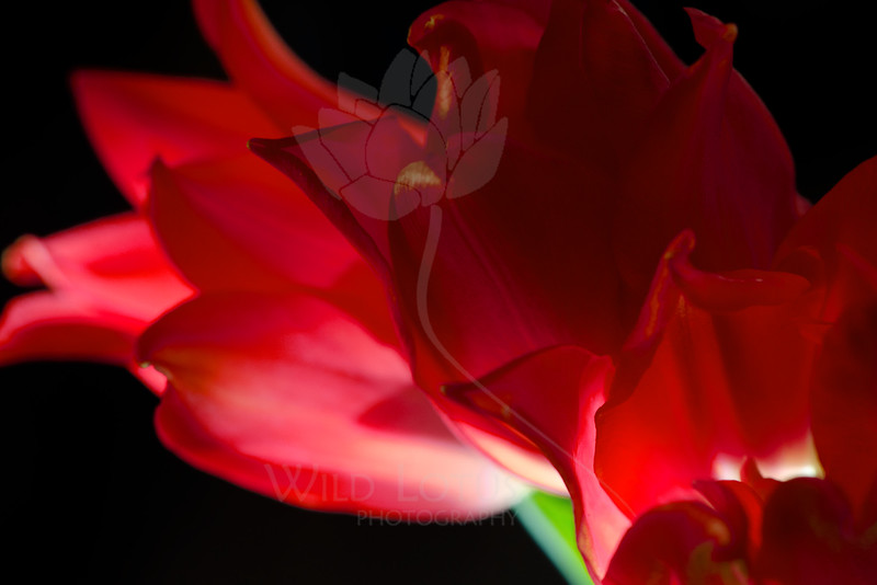 Flowers pictured :: Lily Tulips<br /> <br /> Flowers provided by :: Whole Foods<br /> <br /> 112914_005986 ICC sRGB 16x24 pic