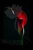 Persephone<br /> <br /> Calla Lily<br /> <br /> 020912_006141 ICC adobe 16in x 24in pic 20in x 30in matte