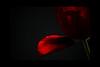Red Velvet<br /> <br /> 020912_006184 ICC adobe 16in x 24in pic 20in x 30in matte
