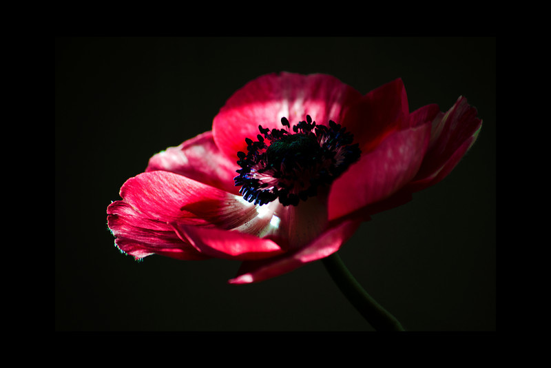 Anemone<br /> <br /> 013012_005421 ICC adobe 16in x 24in pic 20in x 30in matte
