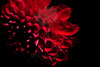 Flower pictured :: Dahlia<br /> <br /> Flower provided by :: Babylon Floral<br /> <br /> 062312_011931 ICC sRGB 16in x 24in pic