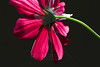 Butterfly Wings<br /> <br /> Flower pictured :: Cosmos<br /> <br /> Flower provided by :: Tagawa Gardens<br /> <br /> 062114_004689 ICC sRGB 16x24 pic
