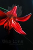 Curiouser and Curiouser<br /> Flower pictured :: Heirloom Lily<br /> <br /> Flower provided by :: Tagawa Gardens<br /> <br /> 073113_000138 ICC sRGB 16x24 pic