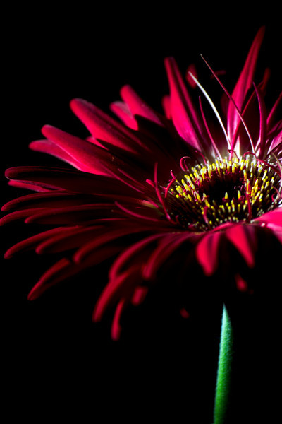 Flower pictured :: Gerber Daisy<br /> <br /> 030312_002823 ICC adobe 16in x 24in pic
