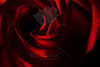 Flower pictured :: Rose<br /> <br /> Flower provided by :: Abloom<br /> <br /> 092912_002254 ICC sRGB 16in x 24in pic