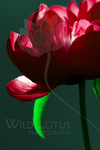 Flower pictured :: Peony<br /> <br /> Flower provided by :: Babylon Floral<br /> <br /> 062312_012239 ICC sRGB 16in x 24in pic