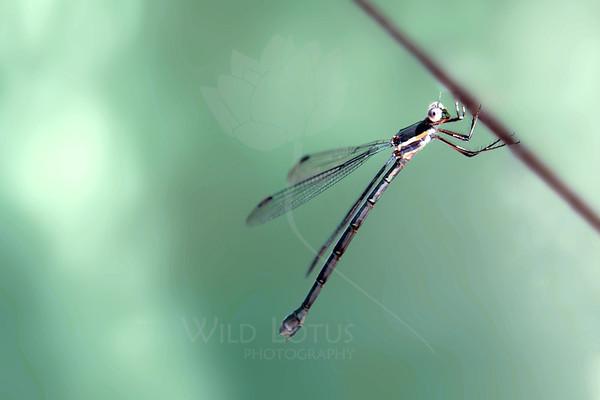 Abalone Dragonfly<br /> <br /> 090713_001300 ICC sRGB v2 16x24 pic