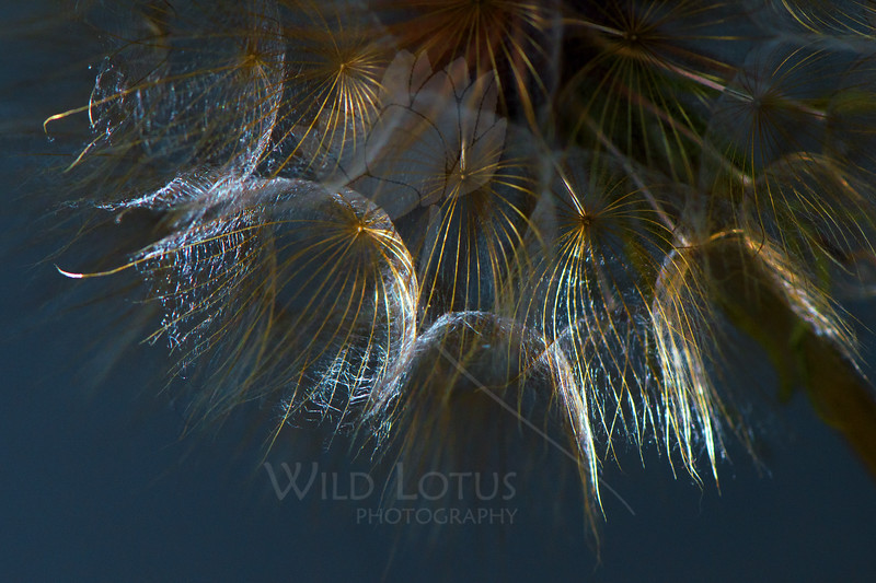 Flower pictured :: Salsify Seeds<br /> <br /> 072413_013401 ICC sRGB 16x24 pic