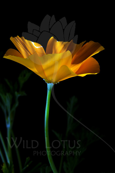 """Twirl<br /> <br /> Flower featured in """"A Year In Bloom 2013 Calendar""""<br /> <br /> Flower pictured :: California Poppy<br /> <br /> 040812_004903 ICC sRGB 16in x 24in pic"""