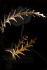 Golden Thorns<br /> <br /> Plant pictured :: Protea Leaves<br /> <br /> Plant provided by :: Abloom Floral<br /> <br /> 020214_003385 ICC sRGB 16x24 pic