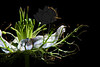 Flower pictured :: Nigella<br /> <br /> Flower provided by :: Babylon Floral<br /> <br /> 062312_012152 ICC sRGB 16in x 24in pic