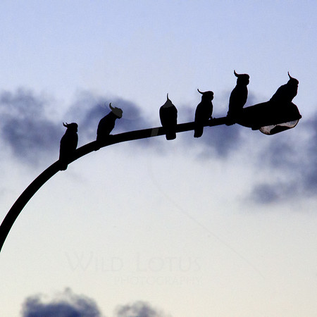 Cockatoos at Sunset<br /> <br /> 112413_002858 ICC sRGB 20x20 pic