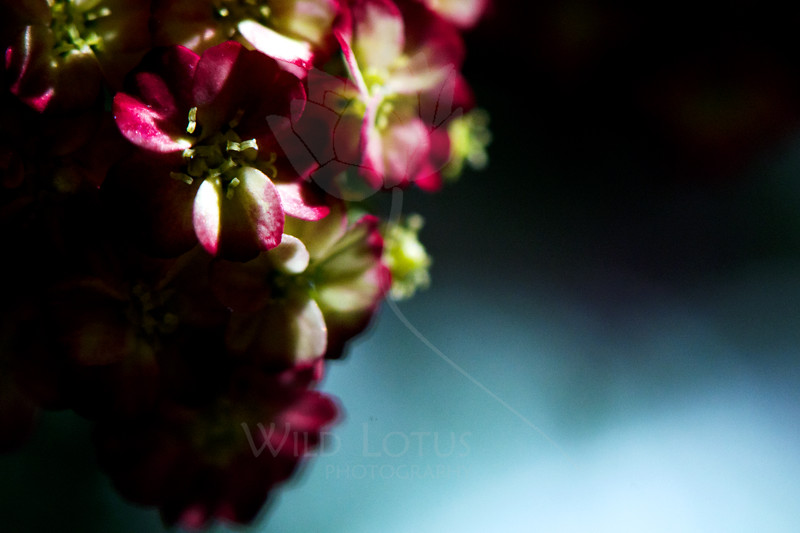 Flower pictured :: Yarrow<br /> <br /> Flower provided by :: Tagawa Gardens<br /> <br /> 090412_000981 ICC sRGB 16in x 24in pic