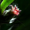 Flower pictured :: Protea Bud<br /> <br /> Flower provided by :: Babylon Floral<br /> <br /> 00712_003093 ICC sRGB 16in x 16in pic