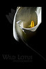 Flower pictured :: Calla Lily<br /> <br /> 022412_002246 ICC adobe 16in x 24in pic 20in x 30in matte