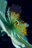 Moonglow<br /> <br /> Flower pictured :: Poppy<br /> <br /> 040712_004821 ICC sRGB 12in x 18in pic