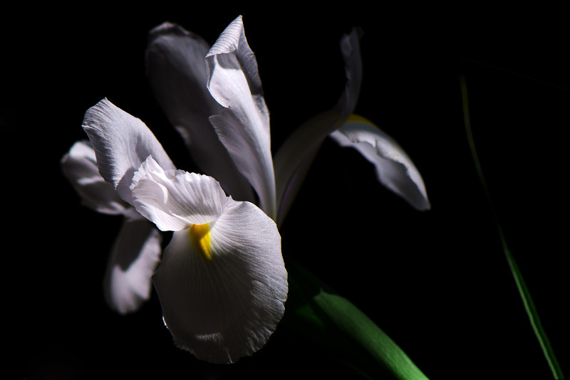 Flower pictured :: Siberian Iris<br /> <br /> 041612_005974 ICC sRGB 16in x 24in pic