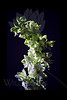 Flower pictured :: Larkspur<br /> <br /> 022812_002514 ICC adobe 16in x 24in pic 20in x 30in matte