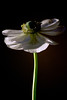Flower pictured :: Anemone<br /> <br /> 031312_003293 ICC adobe 16in x 24in pic