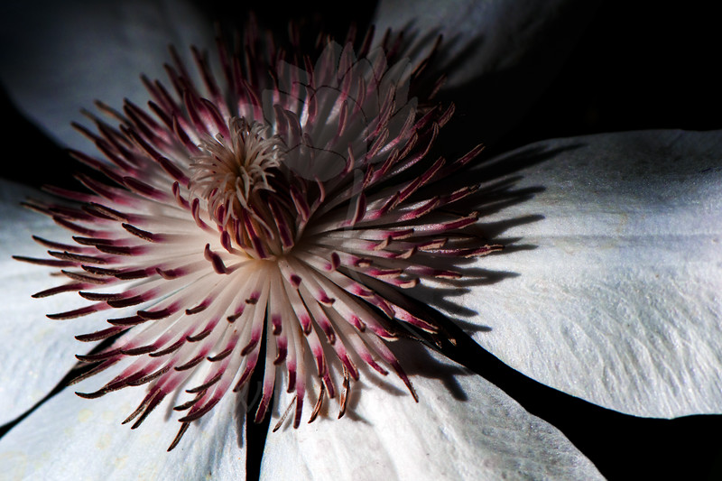 Flower pictured :: Clematis<br /> <br /> Flower provided by :: Tagawa Gardens<br /> <br /> 073012_013783 ICC sRGB 16in x 24in pic