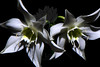 Flower pictured :: Amazonian Lily<br /> <br /> 040812_004996 ICC sRGB 16in x 24in pic