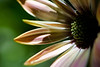 Flower pictured :: Daisy<br /> <br /> Flower provided by :: Tagawa Gardens<br /> <br /> 052812_010211 ICC sRGB 16in x 24in pic