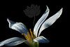 Flower pictured :: Rain Lily<br /> <br /> Flower provided by :: Tagawa Gardens<br /> <br /> 081713_000729 v2 ICC sRGB 16x24 pic