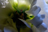 Flower pictured :: Lisianthus<br /> <br /> Flower provided by :: Whole Foods @ University<br /> <br /> 081512_015417 ICC sRGB 16in x 24in pic