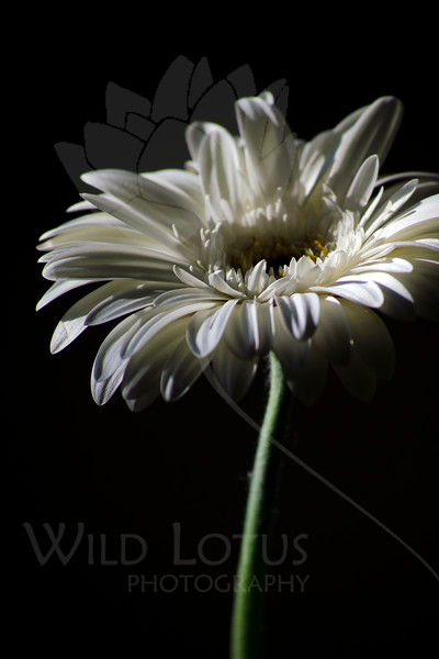 Flower pictured :: Gerber Daisy<br /> <br /> 022812_002488 ICC adobe 12in x 18in pic