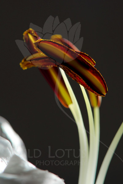 Flower pictured :: Asiatic Lily<br /> <br /> Flower provided by :: Babylon Floral<br /> <br /> 123012_007243 ICC sRGB 16in x 24in pic
