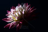 Flower pictured :: Dahlia<br /> <br /> Flower provided by :: Happy Canyon Flowers<br /> <br /> 042912_007410 ICC sRGB 16in x 24in pic