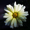 Flower pictured :: Daisy <br /> <br /> Flower provided by :: Tagawa Gardens<br /> <br /> 042813_010792 ICC sRGB 16x16 pic