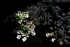 Flower pictured :: Queen Anne's Lace<br /> <br /> Flower provided by :: ??<br /> <br /> 091612_001786 ICC sRGB 16in x 24in pic