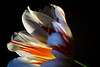 Flower pictured :: Tulip<br /> <br /> 031312_003268 ICC adobe 16in x 24in pic