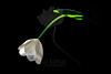 Sigh<br /> <br /> Tulip<br /> <br /> 110311_000684 ICC adobe 16in x 24in pic 20in x 30in matte