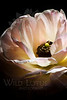 Flower pictured :: Ranunculus<br /> <br /> Flower provided by :: Whole Foods<br /> <br /> 040713_010073 ICC sRGB 16x24 pic