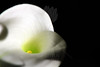 Flower pictured :: Calla Lily<br /> <br /> Flower provided by :: Babylon Floral<br /> <br /> 022313_008659 ICC sRGB 16in x 24in pic