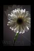 Sophia<br /> <br /> Flower pictured :: Gerber Daisy<br /> <br /> 022912_002624 ICC adobe 16in x 24in pic
